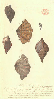 Four Different Molluscs Art Print by Natural History Museum, London