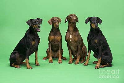 Doberman Pinscher Wall Art - Photograph - Four Dobermans Sitting Down by Steve Downer