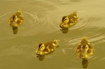 Baby Mallards Photograph - Four Duckies by Jeff Swan