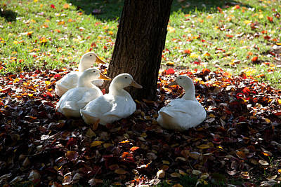 Photograph - Four Ducks And A Tree by Carole Hinding