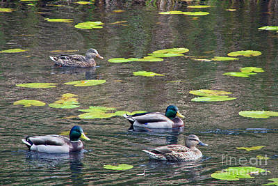 Photograph - Four Ducks by Chris Anderson