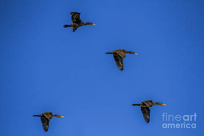 Photograph - Four Flying Cormorants by Barbara Bowen