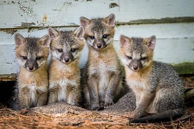 Four Fox Kits Art Print by Paul Freidlund