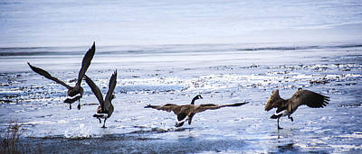 Photograph - Four Geese Taking Flioght by Marilyn Hunt