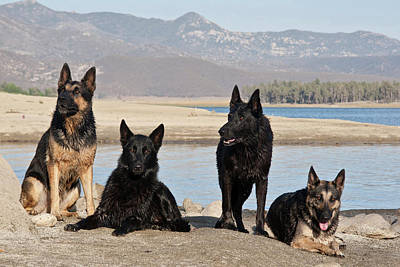 Alsatian Photograph - Four German Shepherds Together by Zandria Muench Beraldo
