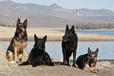 Herding Dog Photograph - Four German Shepherds Together by Zandria Muench Beraldo