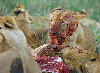 Focus On Foreground Photograph - Four Lioness Eating A Kill, Ngorongoro by Panoramic Images