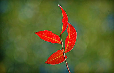 Photograph - Four Red Leaves by Linda Brown