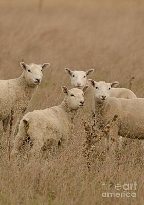 Photograph - Four Sheep by Joshua McCullough