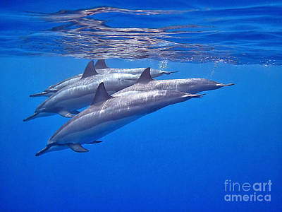 Photograph - Four Spinner Dolphins by Bette Phelan
