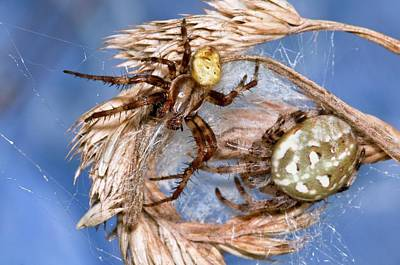 Spiderweb Photograph - Four-spot Orb-weaver Spiders by Dr. John Brackenbury/science Photo Library