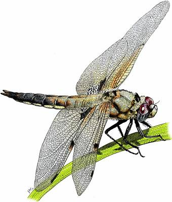 Photograph - Four Spot Skimmer Dragonfly by Roger Hall