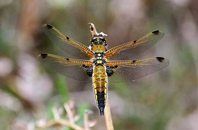 Dragonflies Photograph - Four-spotted Chaser Dragonfly by Colin Varndell