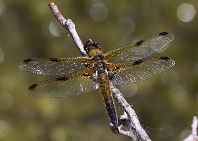 Photograph - Four-spotted Chaser Libellula Quadrimaculata by Bob Kemp