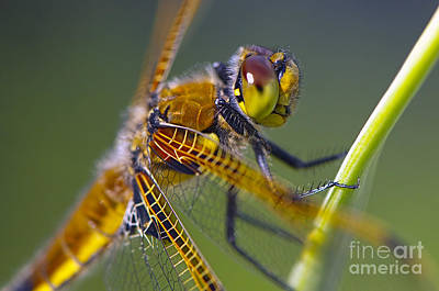 Four Spotted Chaser Art Print by Sharon Talson