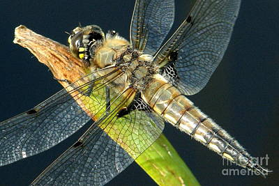 Photograph - Four-spotted Skimmer by Frank Townsley
