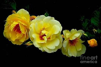 Four Stages Of Bloom Of A Yellow Rose Art Print