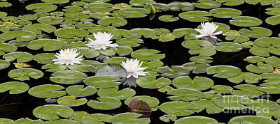 Photograph - Four Water Lilies by Alan L Graham