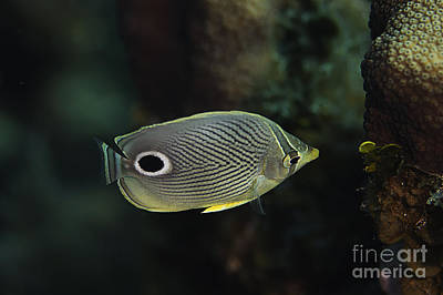 Photograph - Foureye Butterflyfish by JT Lewis