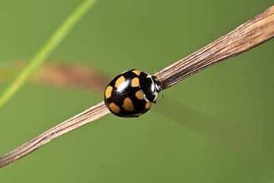 Fourteen Photograph - Fourteen-spot Ladybird by Science Photo Library