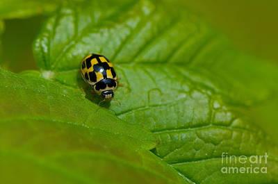 Fourteen Photograph - Fourteen-spot Ladybird by Steen Drozd Lund