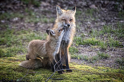 Fox And It's Cub Print by Jim Pearson