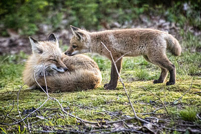 Fox And Parent Print by Jim Pearson
