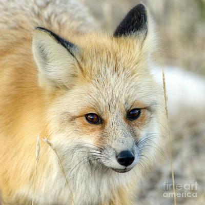 Photograph - Fox Face by Deby Dixon