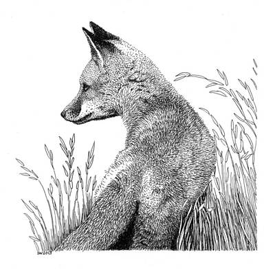 Drawing - Fox In Grass by Scott Woyak