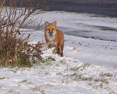 Photograph - Fox In My Yard by Susan Turner Soulis
