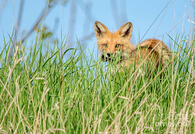 Photograph - Fox In The Grass by Cheryl Baxter