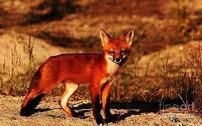 Photograph - Fox Kit by Diane Kurtz