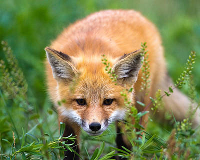 Fox Kit Hiding In The Grass Art Print
