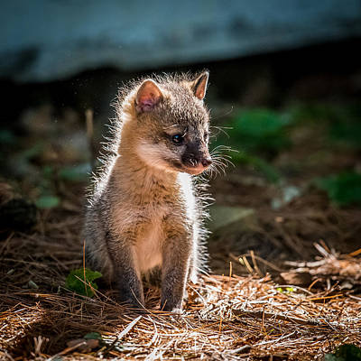 One Of A Kind Photograph - Fox Kit by Paul Freidlund