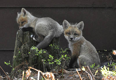 Photograph - Fox Kit Siblings by RJ Martens
