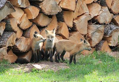 Photograph - Fox Kits by Shane Bechler