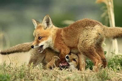 Fox Kits Art Print