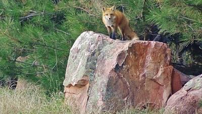 Fox Photograph - Fox On A Rock by Savanna Paine