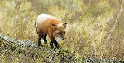 Photograph - Fox On The Rail - Wild Fox - San Juan Island by Marie Jamieson