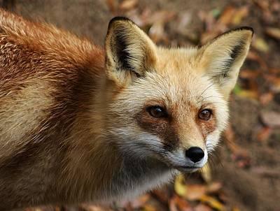Fox Art Print by Paulette Thomas