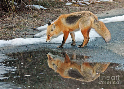 Photograph - Fox Reflection by Sami Martin