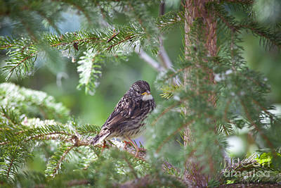 Photograph - Fox Sparrow Juvenile by Chris Heitstuman