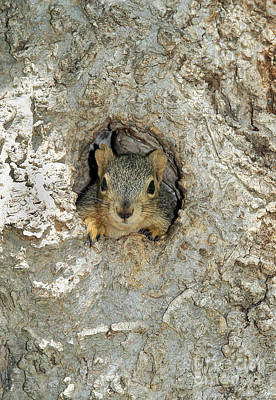 Fox Squirrel Print by Gregory G. Dimijian