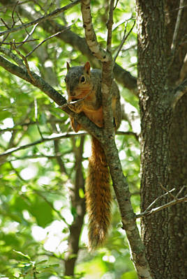 Photograph - Fox Squirrel In Cedar Elm by Robyn Stacey