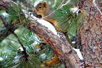 Photograph - Fox Squirrel On Snowy Pine by Marilyn Burton