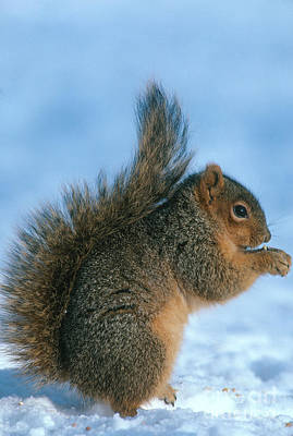 Eastern Fox Squirrel Photograph - Fox Squirrel by William H. Mullins