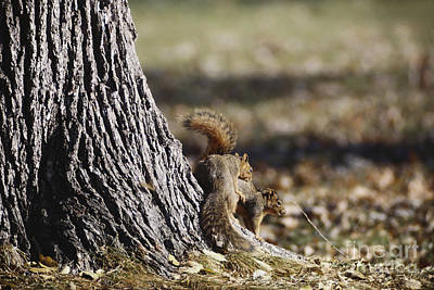 Eastern Fox Squirrel Photograph - Fox Squirrels Mating by William H. Mullins