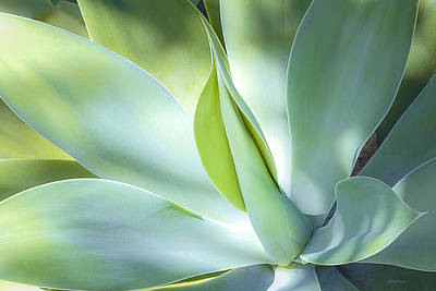 Photograph - Fox Tail Agave by Julie Palencia