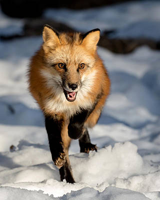 Photograph - Fox Trot by Jack Bell