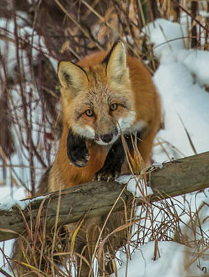 Photograph - Fox Trot by Kevin  Dietrich